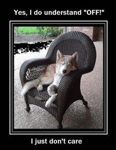 - Funny Husky Meme - Funny Husky Quote - The post appeared first on Gag Dad. - Funny Husky Meme - Funny Husky Quote - The post appeared first on Gag Dad. Funny Husky Meme, Dog Quotes Funny, Dog Memes, Funny Dogs, Dog Funnies, Dog Humor, Alaskan Husky, Siberian Husky Dog, Cute Puppies