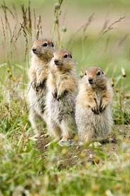 Arctic Refuge -  Three Amigos - Juvenile Arctic Ground Squirrels (Spermophilus parryii)