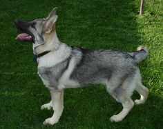 Silver Sable German Shepherd dogs....can not wait