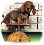 Chart Dachshund Weight