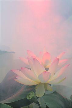 Lotus Flower. (digital photograph)