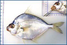 大梗 common ponyfish, common slipmouth (Leiognathus equulus)