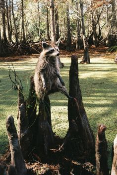 Raccoon in the swamp