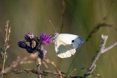 Unterwegs im Müritz Nationalpark | Schmetterlinge im Spätsommer an der Müritz (c) Frank Koebsch (2)