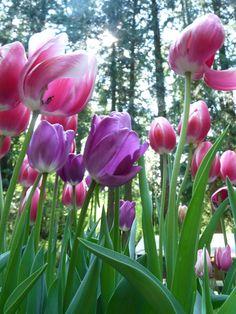 Tulips arriving!