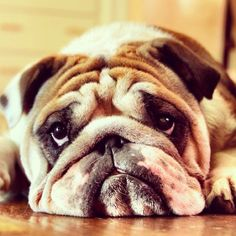 """Bulldogs, so pitifully adorable :) If they could just say """"please help me out of this body!"""""""