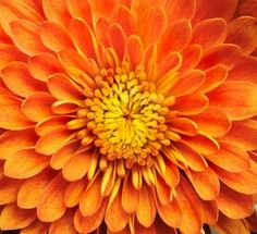 november birth flower | is the November birth month flower. Most of the months have two birth ...
