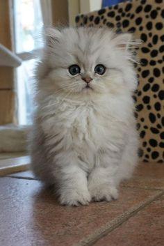 Persian Kitten | Cattery van IJdoorn