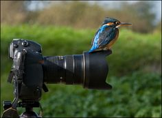 Bird's eye view? Kingfisher perched on Kent photographer Tony Flashman's (other) camera