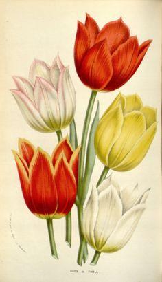 tulipa gesneria - circa 1845