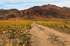 https://flic.kr/p/EXkcQb | Wildflower Lane | Wildflower Lane Black Mountains Wild Flower Super Bloom  Death Valley National Park California 2/28/2016