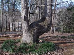 Blue Starr Gallery: Indian Trail Trees