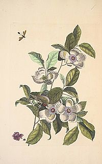 """Botanica Caroliniana is a digital botanical garden """"that focuses on the botany of the Carolinas from their earliest exploration by Europeans to living plants under curation and in the wild today."""""""