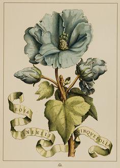 Rosa Sinensis Más