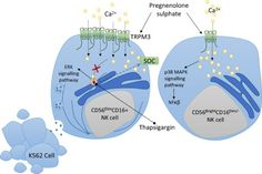 Impaired calcium mobilization in NK cells from CFS/ME patients is associated with transient receptor potential melastatin 3 ion channels.