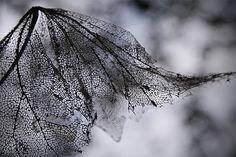 lacy skeleton