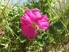 Rhosyn Rose by Cariad Essences.  Connecting to life's cycles; death, rebirth, growth. Fertility. Balancing masculine and feminine energies. New beginnings. Transitioning from surviving to thriving. Being in the Flow. Warmth.  Indications: Grief, loss, suppression of the feminine, divorced from the cycles of life, heartache.