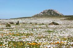 """Flora Sudafricana.Entre los meses de agosto y octubre, la costa oeste de Sudáfrica se viste de colores, trasformando sus paisajes en un maravilloso reino floral que, año tras año, atrae miles de turistas de todo el mundo. Para disfrutar de los puntos más destacados, diversas agencias ofrecen excursiones por la """"Ruta de las flores de Namaqualand"""", que ofrece un recorrido por los parques y reservas más importantes de la región"""