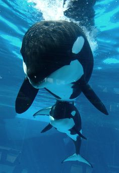 Mother and child:Orcas