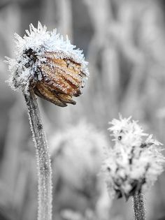 Covered in frost.