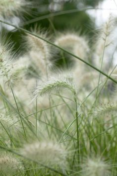 Feathertop • Pennisetum villosum • Pennisetum longistylum • Plants & Flowers • 99Roots.com