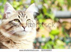 brown kitten of siberian breed, five months - new on #Shutterstock