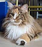 תוצאת תמונה עבור maine coon brown & white tabby http://www.mainecoonguide.com/