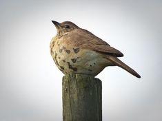 This Thrush is fabulous Ceramic Animals, Ceramic Birds, Ceramic Clay, Bird Sculpture, Animal Sculptures, Clay Birds, Pet Birds, Bird Statues, Wooden Bird