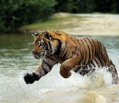 the brave tiger running on water.