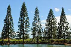 araucaria columnaris - Google Search