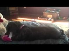 Newest dog foster Lulu is settling in today. This is her premiere video. #rescue #adoptdontshop #puppy #puppylove