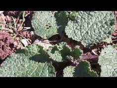 Μπουράντζα, Αγγουράκι !!! Άγριο φαγώσιμο χορταστικό. - YouTube Cabbage, Plant Leaves, Vegetables, Youtube, Plants, Food, Vegetable Recipes, Eten, Veggie Food
