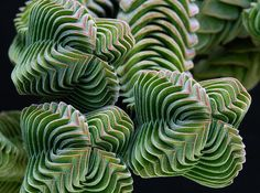 CRASSULA BUDDHAS TEMPLE FAMIGLIA CRASSULACEAE - Google Search