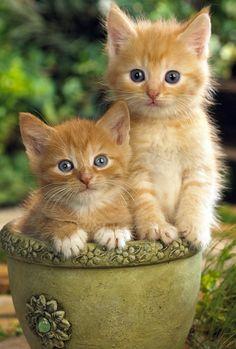All About Ginger Cats - Kittens Cutest - Katzen Bilder Kittens And Puppies, Cute Cats And Kittens, Kittens Cutest, Ragdoll Kittens, Tabby Cats, Bengal Cats, I Love Cats, Cute Baby Cats, Cute Baby Animals