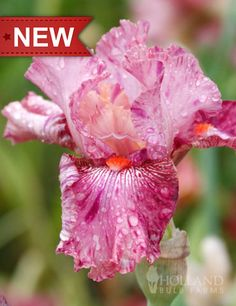 Nigerian Raspberry Bearded Iris