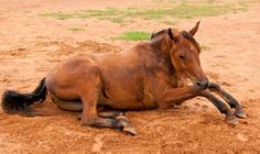 This article give you tips on how to prevent horse Colic which is still considered the number one killer of horses in the United States.