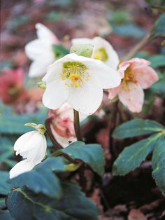 Red, White and Blue Flowers for your Garden - Christmas Rose >> http://www.hgtvgardens.com/photos/flowerworks-red-white-and-blue-flowers?s=11=pinterest