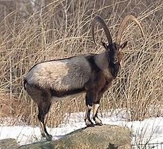 The Bezoar Ibex (Capra aegagrus aegagrus) is a vulnerable wild goat, native to Afghanistan, Armenia, Azerbaijan, Georgia, Iran, Russia & Turkey. It has been extirpated from Lebanon but is found in the mountains of Asia Minor and across the Middle East. It is also found on some Aegean Islands & in Crete where it is accepted that they constitute relict populations of early domestic animals that were taken to the Mediterranean islands during the prehistoric period & now live as feral…