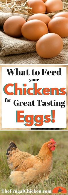 Chicken Coop - So you have chickens.but do you know how to get GREAT eggs from them? Read on to discover how to get great eggs from your hens! Building a chicken coop does not have to be tricky nor does it have to set you back a ton of scratch. Raising Backyard Chickens, Backyard Chicken Coops, Keeping Chickens, Pet Chickens, How To Keep Chickens, Chickens In Garden, Toys For Chickens, Best Chickens For Eggs, Plants For Chickens