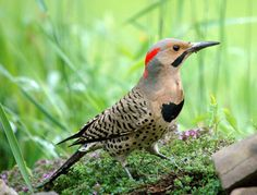 Northern Flicker, saw this guy eating bugs in my grass