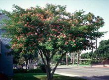 Mimosa Tree - Mimosa Trees for Sale for Sale | Fast Growing Trees