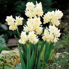 Narcissus erlicheer   Narcissus Erlicheer