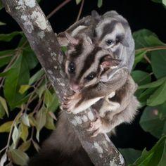 Squirrel Glider | ... > grijze suikereekhoorn squirrel glider - petaurus norfolcensis