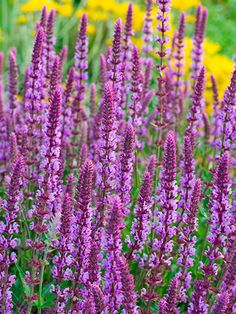 7 Perennials That Will Bloom Multiple Times This Summer- Perennial Plants – . - 7 Perennials That Will Bloom Multiple Times This Summer- Perennial Plants – Garden Ideas – g - Perennial Plants, Best Perennials, Plants, Planting Flowers, Shrubs, Flowers Perennials, Flower Spike, Urban Garden, Garden Planning