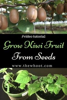 Growing Tomatoes From Seed You will love to learn how to grow Kiwi Fruit from Seed and it's just so easy when you know how. Check out the video instructions now. Kiwi Growing, Growing Tomatoes From Seed, Growing Tomato Plants, Growing Fruit Trees, Growing Seeds, Growing Vegetables, Grow Tomatoes, Grow Kiwi From Seed, Growing Blackberries