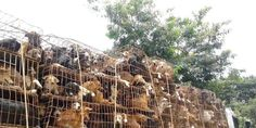Illegal Dog Meat Trade in Thailand - A trade of shame.