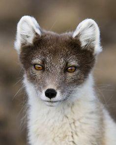 Arctic Fox by Jaap Vink