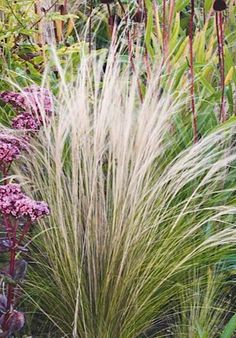 Stipa tenuissima. The white Mexican feather grass provides a hazy background for the dark, prickly seedheads of Echinacea pallida, 90cm.