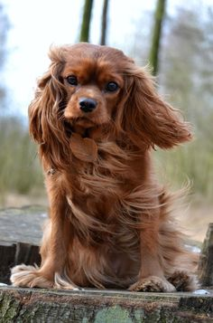 Cavalier King Charles Spanielsblenheim and tricolor