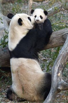 Bei Bei Panda ‏@houseofcubs 27Sep2015 Giving a shout out to our Big Bro Tai Shan (aka Butterstick). He was & is very popular!! Great photo of him w/Mom.